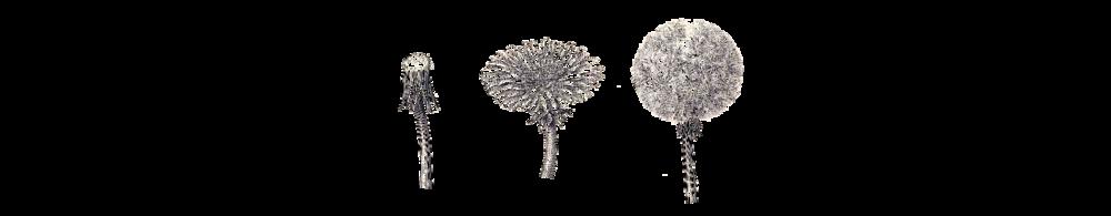 dandelion flower.png