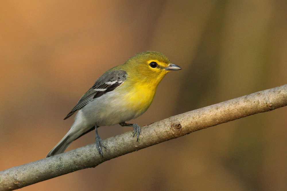 Yellow-throated Vireo -  Tyler Pockette