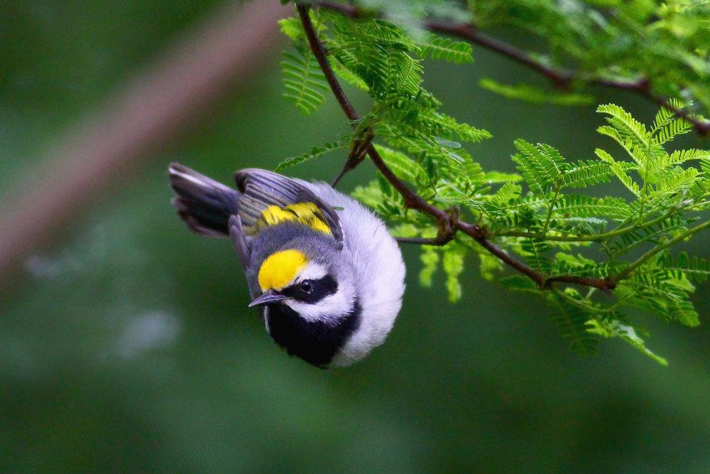Golden-winged Warbler -  Tyler Pockette