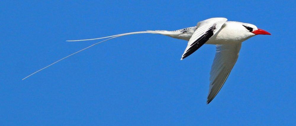 Red-billed Tropicbird -  Keenan Yakola