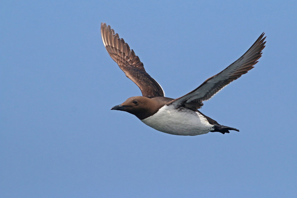 Common Murre  -   Keenan Yakola