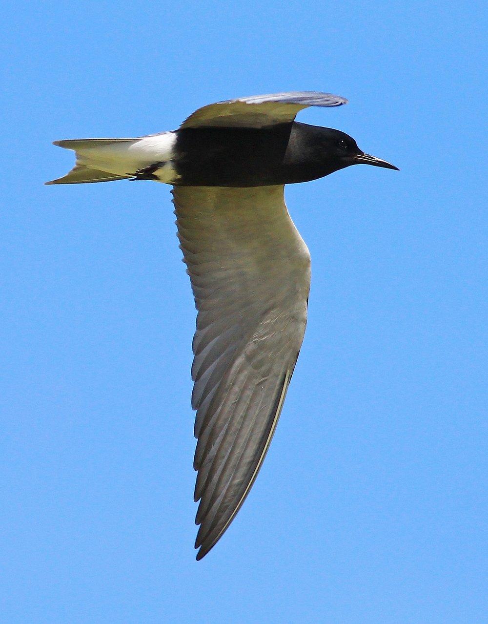 Black Tern -  Tyler Pockette