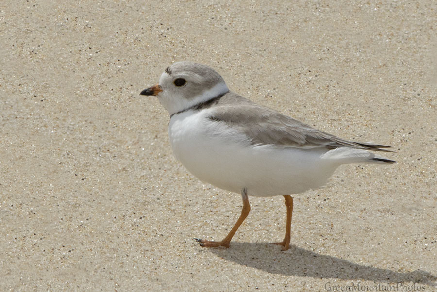 Piping Plover -  Jane Ogilvie