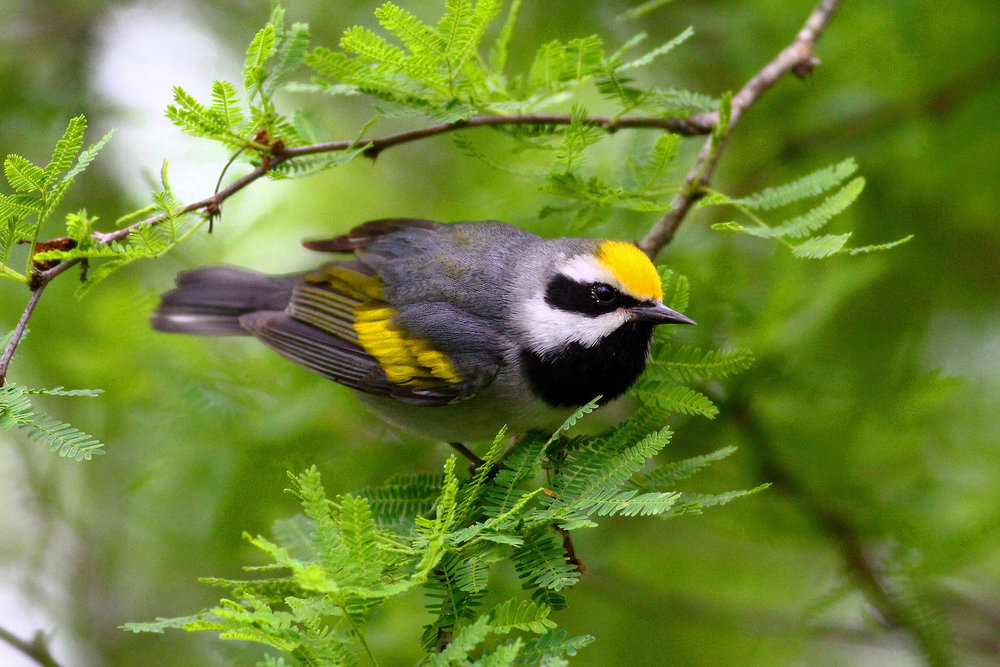 Golden-winged Warbler -  Tyler Pockette