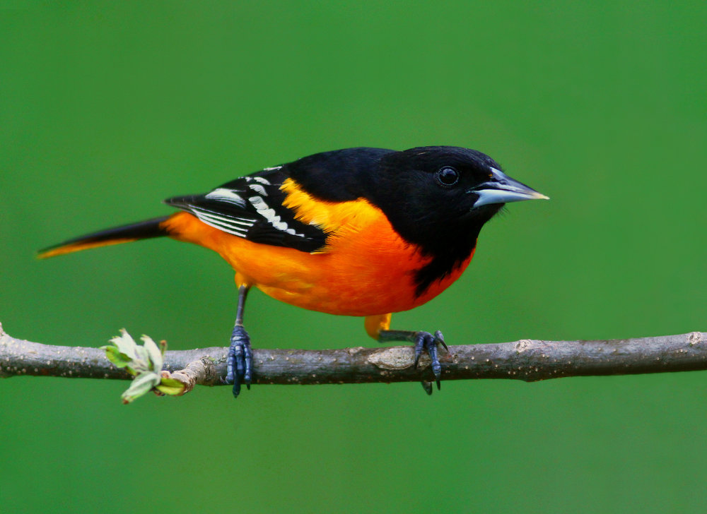 Baltimore Oriole -  Tyler Pockette