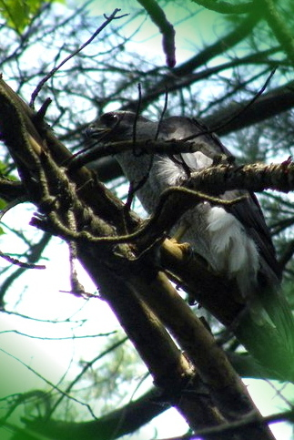 "Northern Goshawk — first bird of the ""day"" in the first light of dawn.  Photo: Tyler Pockette"