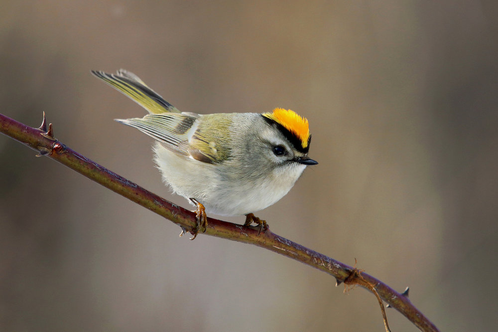 "Golden-crowned Kinglet, ""nemesis"" bird of the day.  Photo: Tyler Pockette"