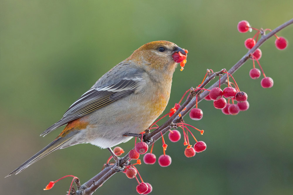 Pine Grosbeak.  Photo: Tyler Pockette
