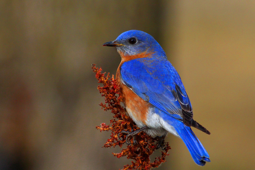 Eastern Bluebird.  Photo: Tyler Pockette