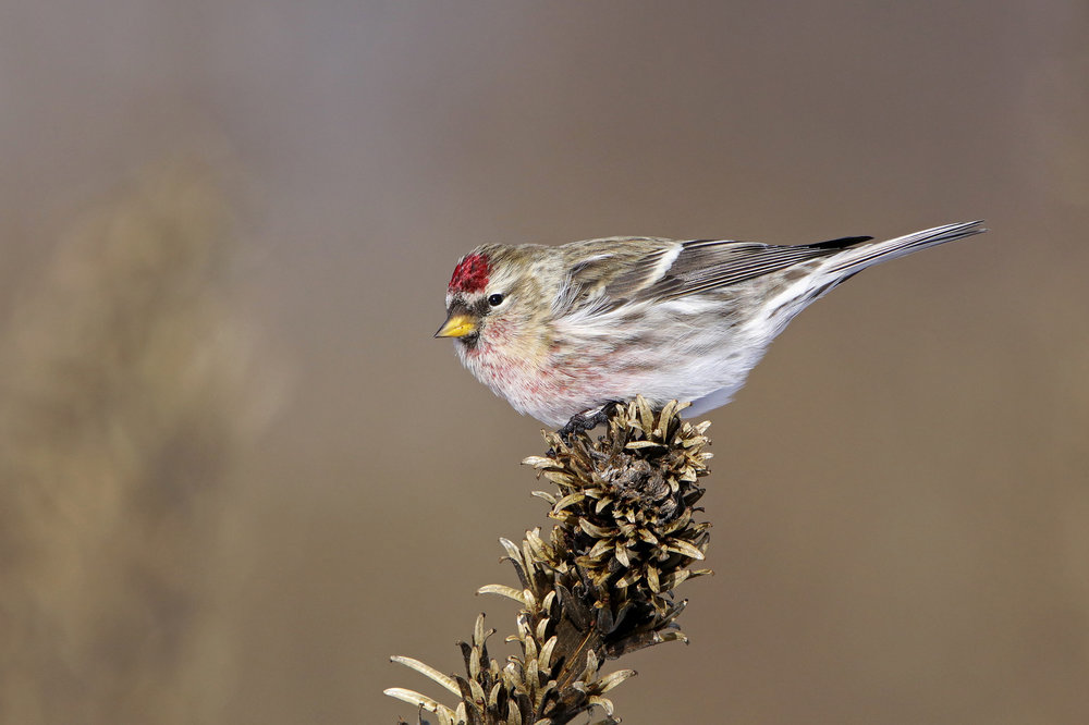 Common Redpoll.  Photo: Tyler Pockette