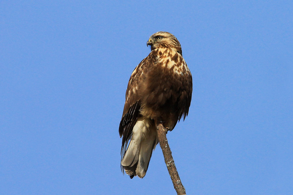 Rough-legged Hawk.  Photo: Tyler Pockette