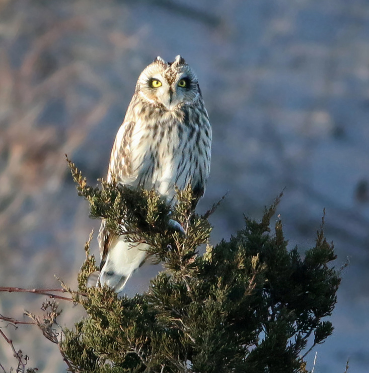 Short-eared Owl.  Photo: Keenan Yakola