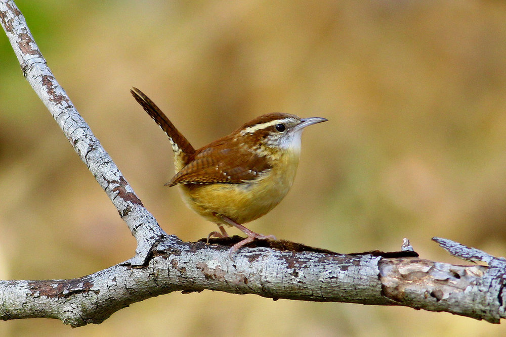 Carolina Wren.  Photo: Tyler Pockette