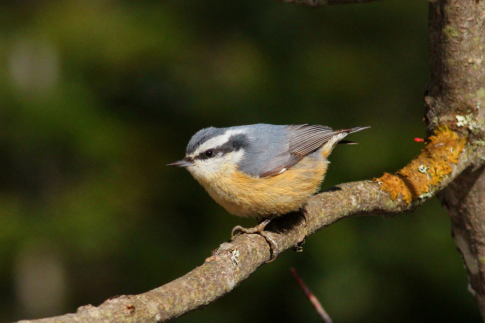 Red-breasted Nuthatch.  Photo: Tyler Pockette