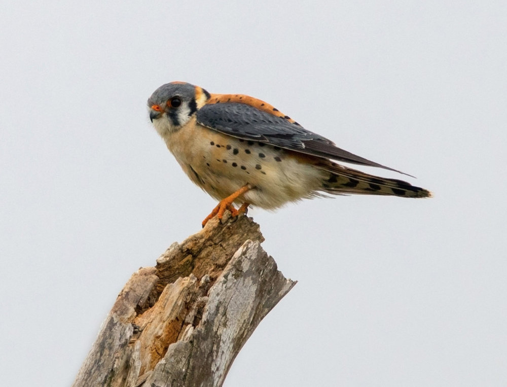 American Kestrel.  Photo: Tyler Pockette