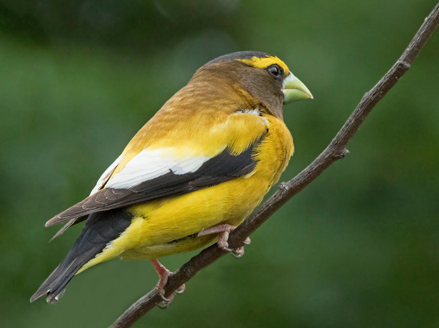 Evening Grosbeak.  Photo: Jane Ogilvie