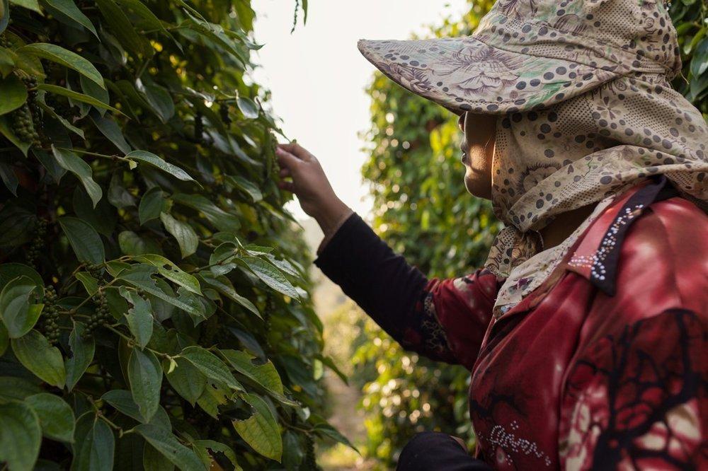 Starling Pepper Farm - Kampot (Cambodia)