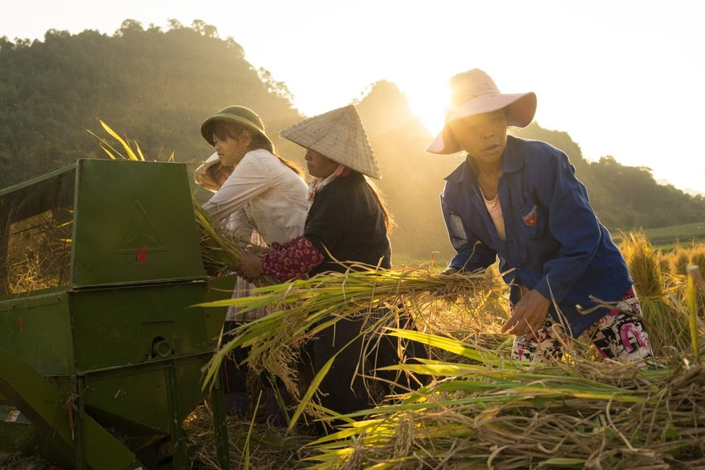 September 22, 2014 - Meo Vac (Vietnam). Locals harvest a rice field in the outskirts of Tam Son. © Thomas Cristofoletti / Ruom