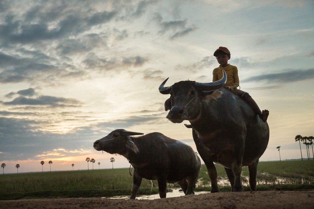 November 29, 2013 - Lvea village, Prey Veng. A boy rides a water buffalo back home. © Thomas Cristofoletti / Ruom