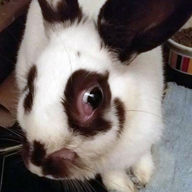 😥Poor little 3 pound 1 yr old Snowball. suffering with terrible back teeth issues, which is causing abscess and horrible pain,, The eye is BURSTING out of his tiny head,, Surgery soon! Please considering Donating or ADOPTING and saving a life.⠀ Visit TribblesRabbitRescue.com⠀ ⠀ #njadopt #njanimalrescue #adoptme #adoptables #bunniesofinstagram #houserabbit #rabbitsofig #bunnygram #dontshopadopt #YourPetYourStore #njpets #njbunny #phillypets #phillyadoptables #phillyadopt #petsmart #phillyrescue #rescuelife #thisiswhywerescue #thedodo #njrescue #njshelter #tribblesrabbitrescue