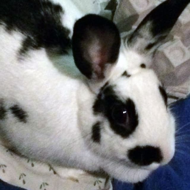 Hi my name is Oreo, I was surrendered because my last family no longer wanted me. I am 4 pounds and a sweetheart who loves snuggles. I would make the perfect family bun. Please take a chance on me. ⠀ ⠀ Please visit ⠀ ⠀ TribblesRabitRescue.com to adopt or foster me. THANKSSSS⠀ ⠀ #njadopt #njanimalrescue #adoptme #adoptables #bunniesofinstagram #houserabbit #rabbitsofig #bunnygram #dontshopadopt #YourPetYourStore #njpets #njbunny #phillypets #phillyadoptables #phillyadopt #petsmart #phillyrescue #rescuelife #thisiswhywerescue #thedodo #njrescue #njshelter #tribblesrabbitrescue