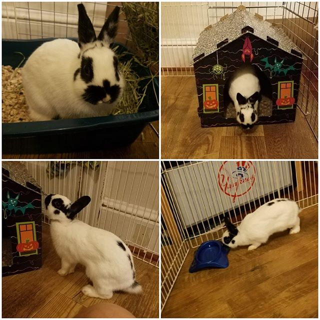 This is Maggie. She is 7 months old. Very friendly! She is litter trained but not spayed yet.⠀ ⠀ Please Visit: TribblesRabbitRescue to Adopt Foster or Donate to help Maggie out. ⠀ ⠀ #njadopt #njanimalrescue #adoptme #adoptables #bunniesofinstagram #houserabbit #rabbitsofig #bunnygram #dontshopadopt #YourPetYourStore #njpets #njbunny #phillypets #phillyadoptables #phillyadopt #petsmart #phillyrescue #rescuelife #thisiswhywerescue #thedodo #njrescue #njshelter #tribblesrabbitrescue