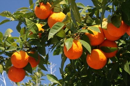 A classic Florida Orange Tree