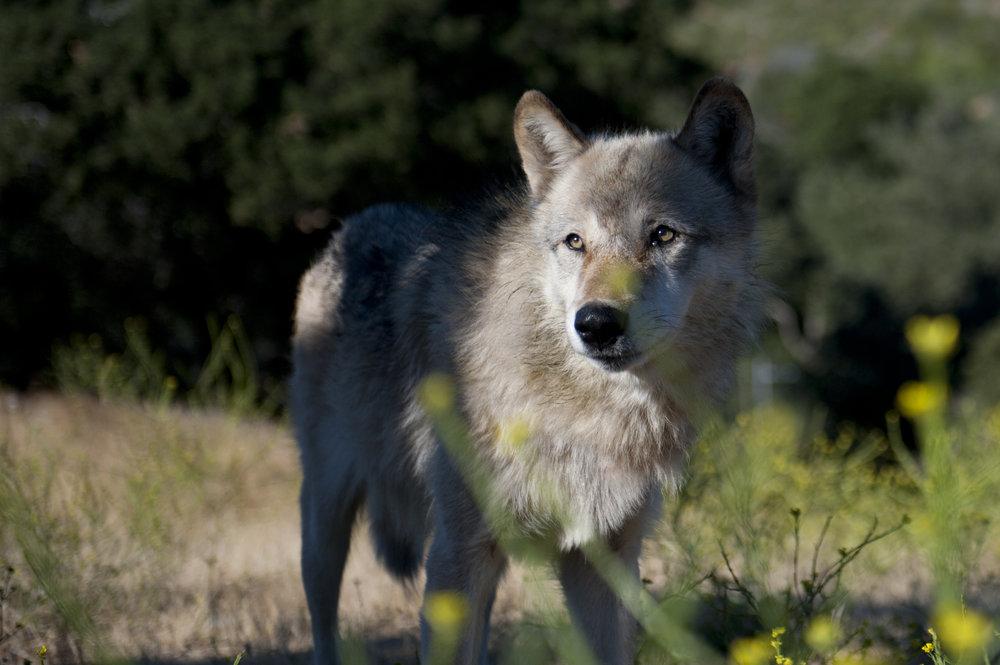 wolf_project038.jpg
