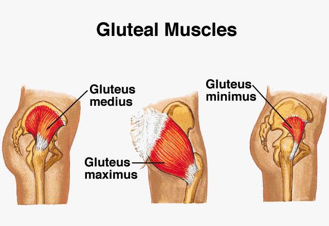 gluteal muscles.jpg