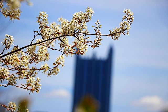 Whelp guess it's time to jump onto that spring blossom bandwagon  #wpxi #pittsburghbeautiful #412project #capturedpgh #steelcitygrammers #bestinpgh #visual412 #412shooterz #pafeatured #pacollective #CCLpittsburgh #pittsburgh #412 #pgh #pittsburghpa #lovepgh #cityofbridges #steelcity #raw_mod #raw_admin #raw_community_member #raw_community #raw_vip #raw_mobile #city_features #raw_cityscapes_hdr #raw_seasons #raw_flowers #raw_depthoffield #raw_allnature
