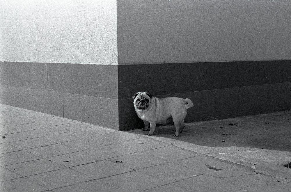 Grumpy pug, Pleven, Bulgaria (2018)