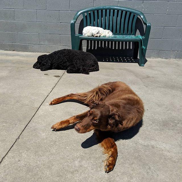 Outside fun🌞🌻🐕 .  #doggiedaycare #sundoggos #doggiefriends #beautifulday #sunshine #sunbathing #61fur #dogsofcolumbus #doggosofinstagram #doggopals #dogsoftheday #dogsofinstagram #dogsofinstaworld