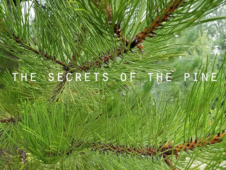 secrets pine.jpg