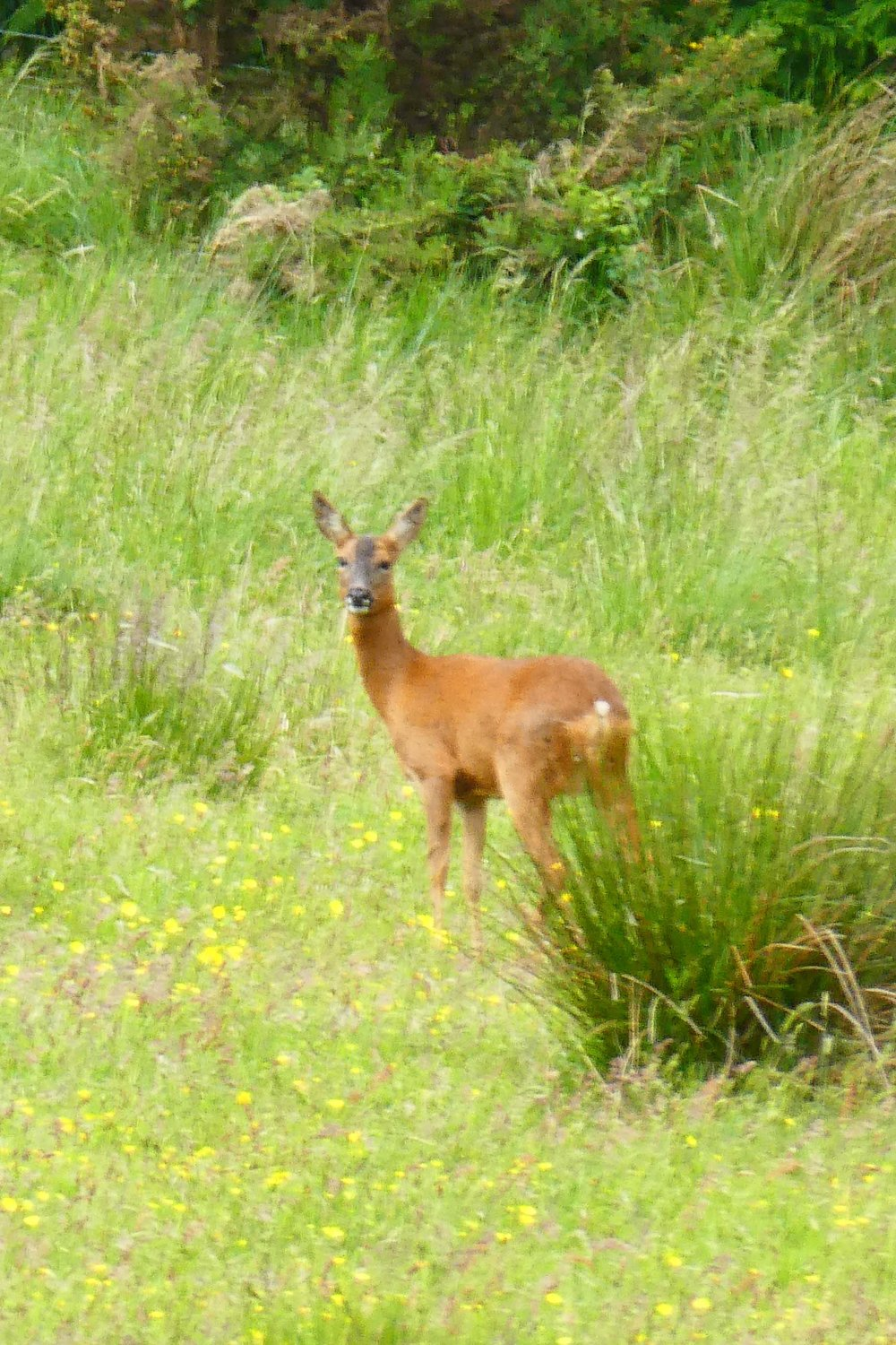 Roe Deer Doe  Union Canal June 18
