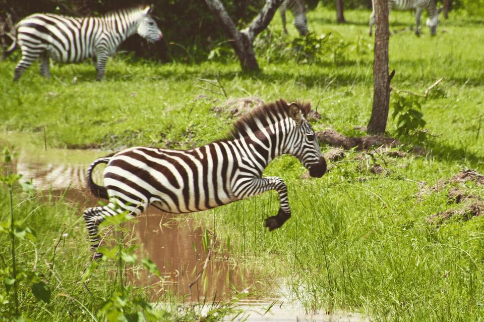 ZebraJumpingLakeMburo.jpg