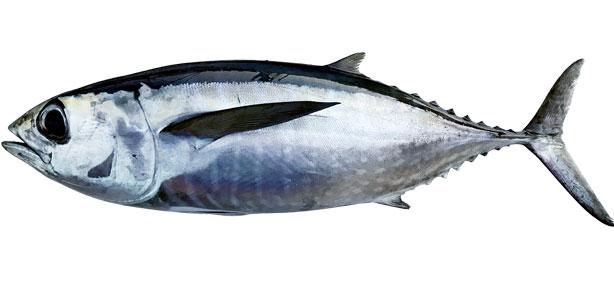 blackfin-tuna.jpg