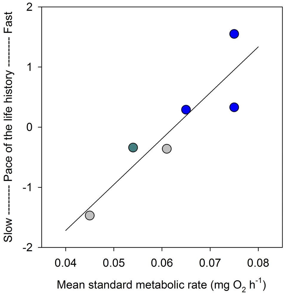 Standard metabolic rate was positively correlated with a suite of life history traits across six populations. Included are naturally-occurring populations with fast-paced (blue) and slow-paced life histories (grey) and a population transplanted from a high to low predation site 35 years ago that has since evolved a slow-paced life history (green).
