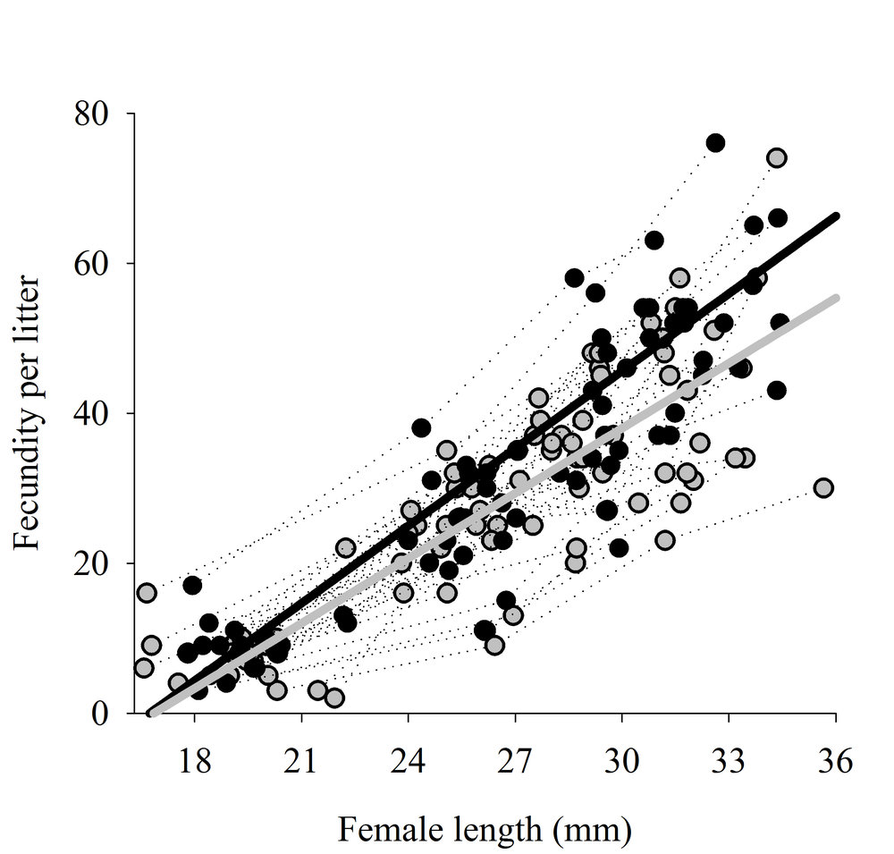 Trajectories of litter size for female guppies who underwent compensatory (grey) and routine(black) growth during the juvenile stage.
