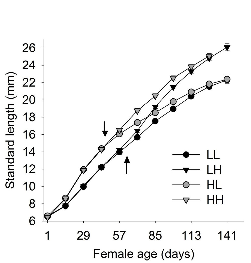 Changes in standard length (mm) in females with high-high (HH), high-low (HL), low-high (LH), and low-low (LL) food across the juvenile and adult stages. Arrows point to mean age at maturation when the food level switch for HL (upper arrow) and LH (lower arrow) occurred.