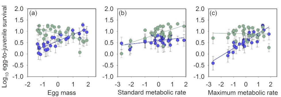 Linear selection gradients in streams with low (blue, n = 5) versus high (green, n = 5) parental nutrients. Plotted are standardized selection gradients for egg-to-juvenile survival (%) as a function of (a) egg mass, (b) standard metabolic rate, and (c) maximum metabolic rate in full sibling Atlantic salmon ( Salmo salar ) families (n = 29). Metabolic rates were standardised to a common body mass of 1g prior to analyses.