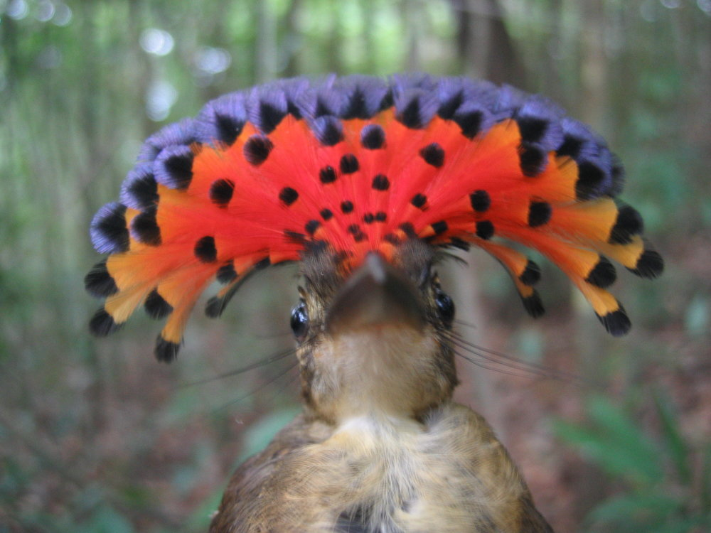 ROYAL FLYCATCHER 2.JPG