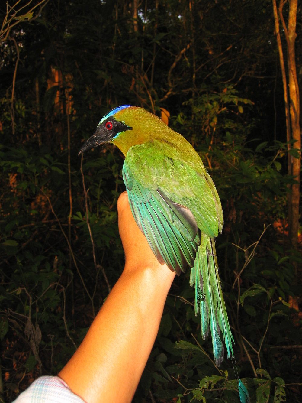 BLUE-CROWNED MOTMOT.jpg