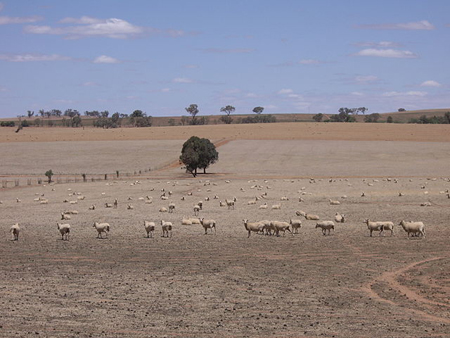 Sheep in the Riverina struggle for feed in the drought (Photo: VirtualSteve, WikiCommons)
