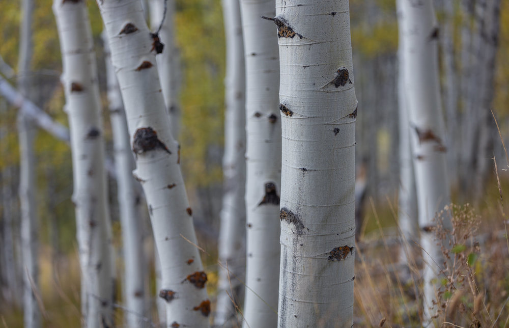 Aspen trees near Redfish Lake