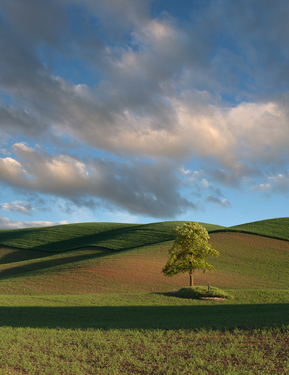 Lone tree in the rolling hills of the Palouse