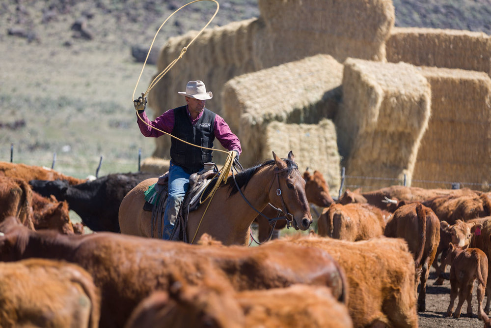 Roping and branding the spring calves