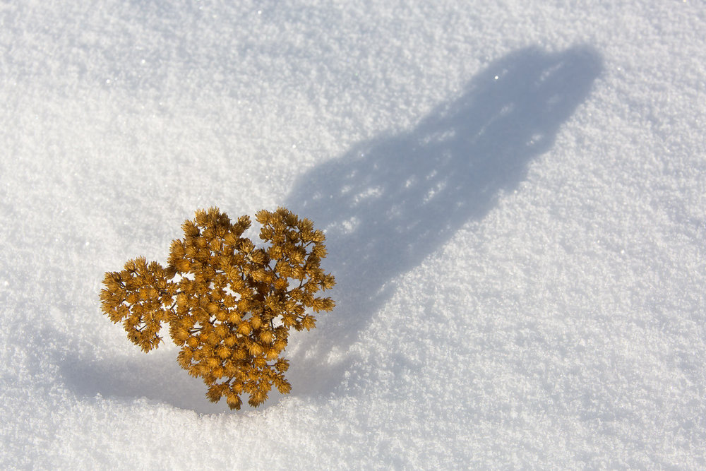 A dried sprig of baby's breath pierces through a snow drift casting a soft shadow