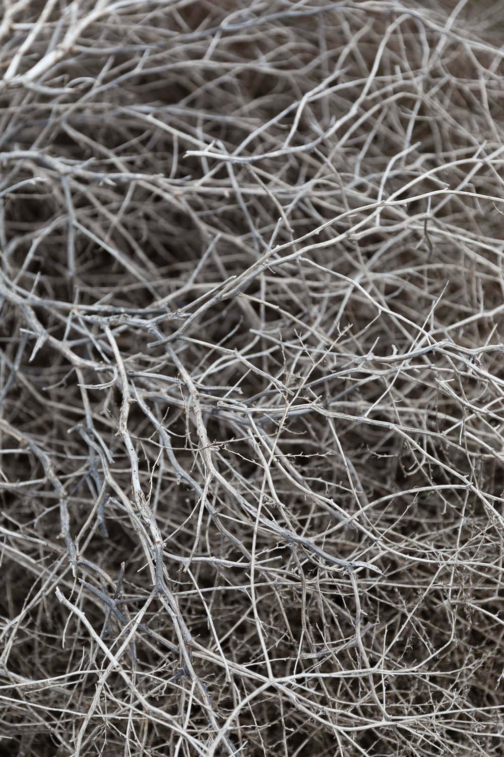 Dried sagebrush