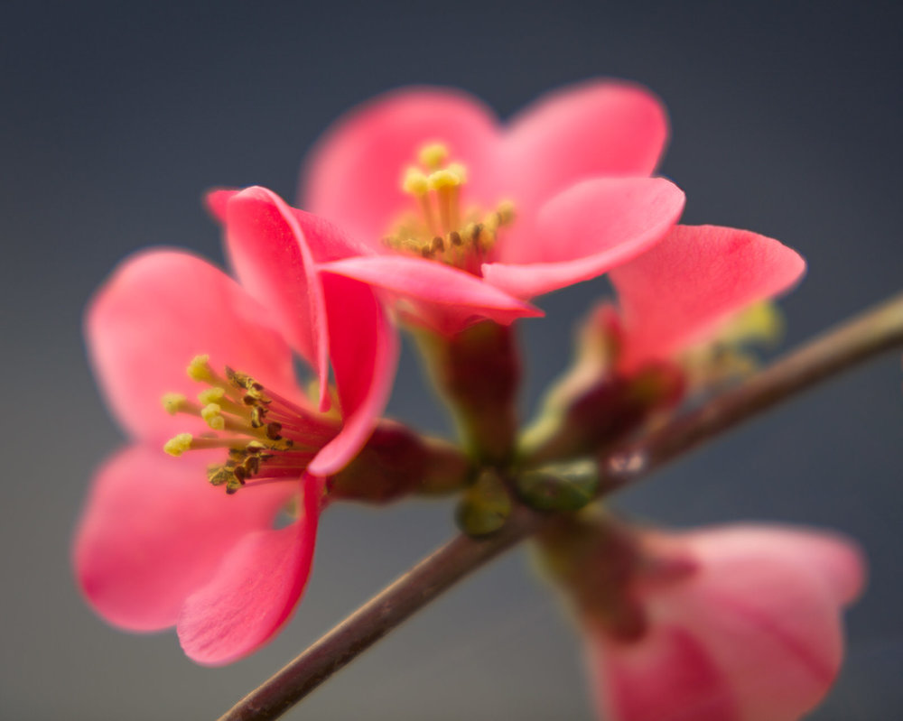 Red blossom on a branch with soft macro focus