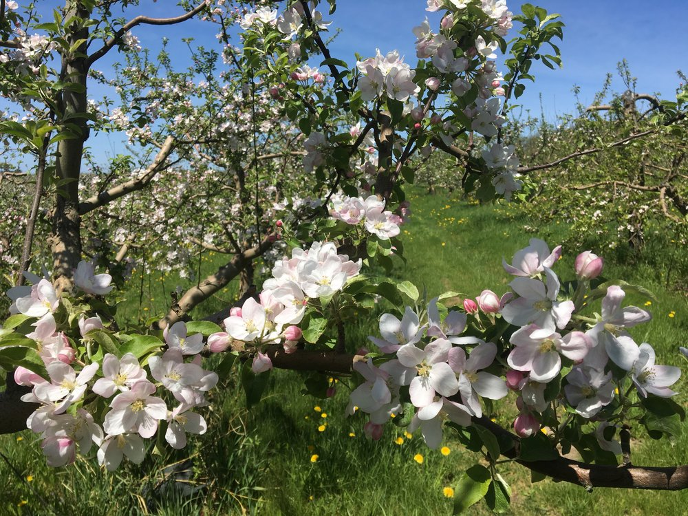 In May each year, 6000 apple trees go into bloom! 30 bee hives are brought in to help pollinate .